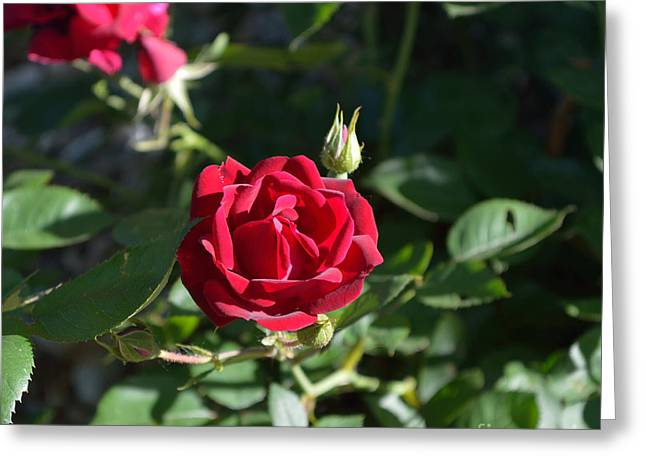 Indiana Flowers Greeting Cards - My Red Rose Greeting Card by Alys Caviness-Gober