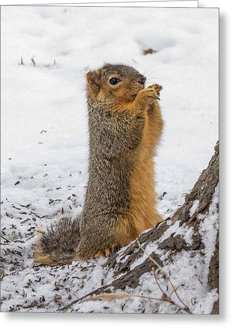 Fox Squirrel Greeting Cards - My Squirrels do Tricks Greeting Card by Michael J Samuels