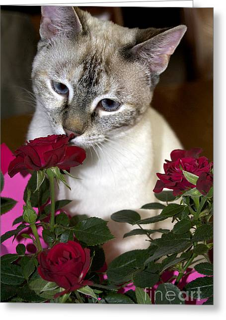 Pictures Of Cats Greeting Cards - My Valentine Greeting Card by Skip Willits