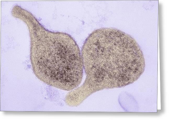 Mycoplasma Genitalium Bacteria Greeting Card by Thomas Deerinck, Ncmir