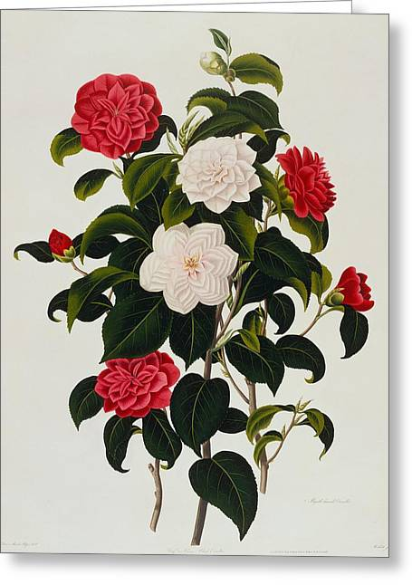 Myrtle Greeting Cards - Myrtle Leaved Camellia Greeting Card by Clara Maria Pope