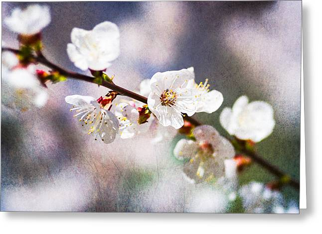 Fruit Tree Art Greeting Cards - Mysteries Of Spring 6 Greeting Card by Alexander Senin