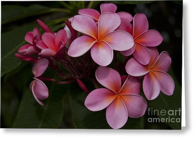 Tropical Flowers Of Hawaii Greeting Cards - Na Lei Pua Melia O Wailua - Pink Tropical Plumeria Hawaii Greeting Card by Sharon Mau