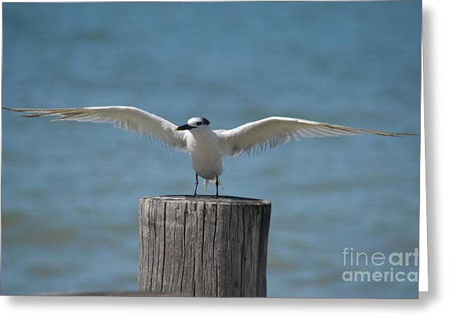 Tern Greeting Cards - Nailed the landing Greeting Card by Don Columbus