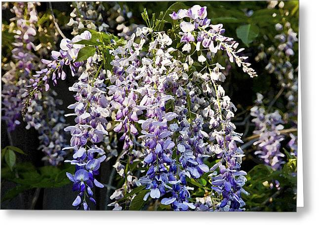 Florida Flowers Greeting Cards - Nancys Wisteria 3 DB Greeting Card by Rich Franco