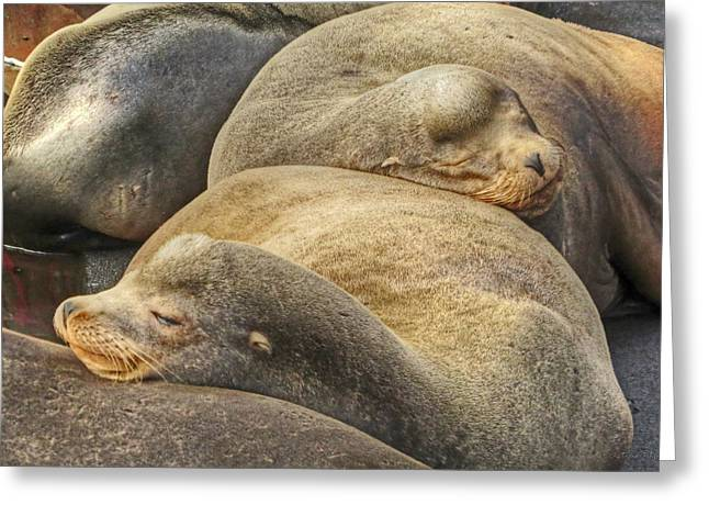 California Sea Lions Greeting Cards - Nap Time Greeting Card by Kristina Rinell