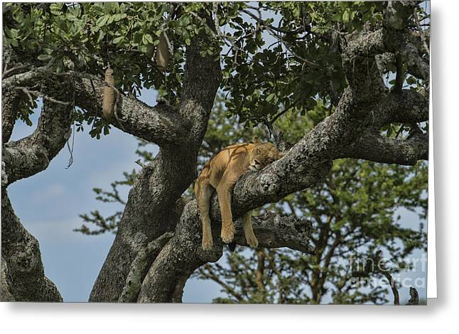 Serengeti Lioness Greeting Cards - Nap Time On The Serengeti Greeting Card by Sandra Bronstein