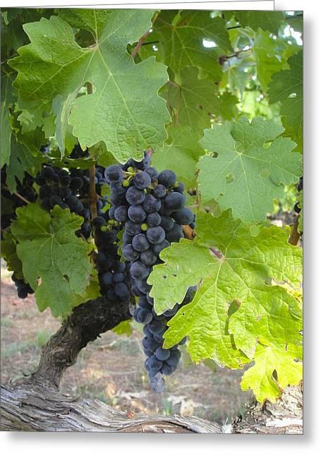 Napa Valley Vineyard Grapes Greeting Card by Jennifer Lamanca Kaufman