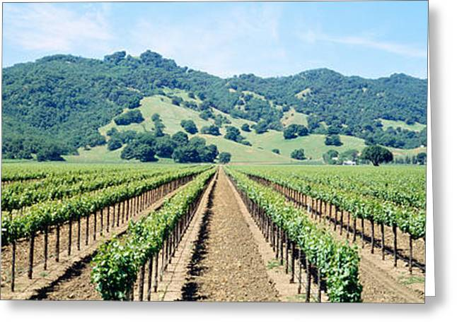 Blue Grapes Greeting Cards - Napa Valley Vineyards Hopland, Ca Greeting Card by Panoramic Images