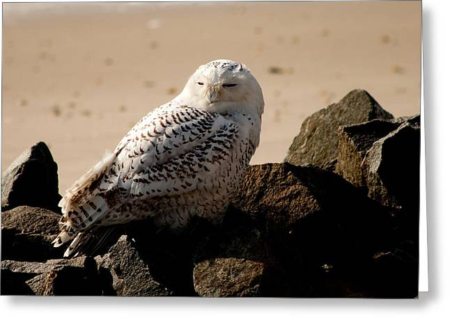 Recently Sold -  - Wildlife Refuge. Greeting Cards - Napping on the Rocks Greeting Card by Kristia Adams