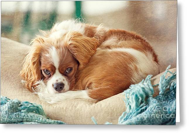 Spaniel Greeting Cards - Napping Puppy Greeting Card by Kay Pickens