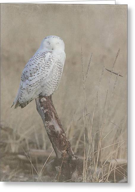 Ocean Shore Greeting Cards - Napping Snowy Owl Greeting Card by Angie Vogel