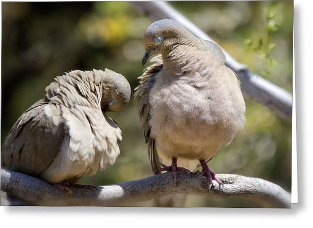 Mourning Dove Greeting Cards - Naptime Greeting Card by Saija  Lehtonen
