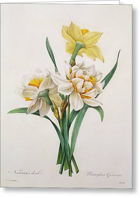 Tasteful Greeting Cards - Narcissus gouani Greeting Card by Pierre Joseph Redoute