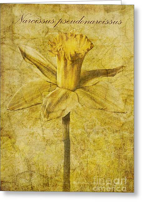 Lent Greeting Cards - Narcissus pseudonarcissus Greeting Card by John Edwards