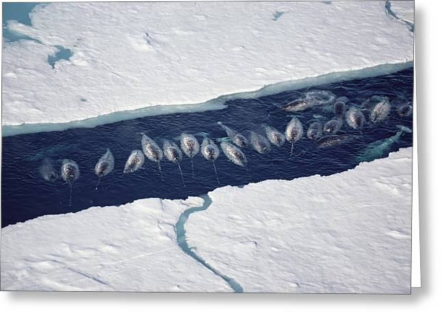 Narwhal Group In Ice Break Greeting Card by Flip Nicklin