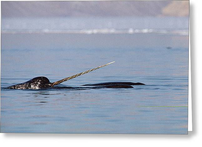 Narwhal Greeting Cards - Narwhal Male Baffin Island Canada Greeting Card by Flip Nicklin