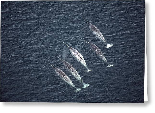 Narwhal Greeting Cards - Narwhals Aerial Baffin Isl Canada Greeting Card by Flip Nicklin