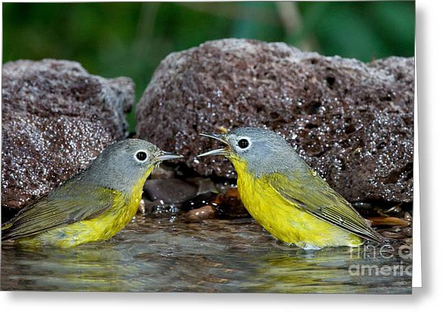 Chatty Greeting Cards - Nashville Warblers Vermivora Ruficapilla Greeting Card by Anthony Mercieca