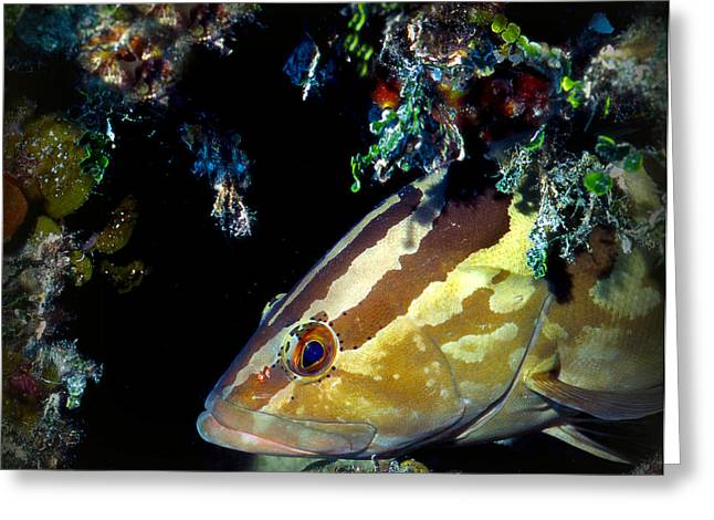 Nassau Grouper Greeting Cards - Nassau Grouper in a Cave Greeting Card by Alan Emery
