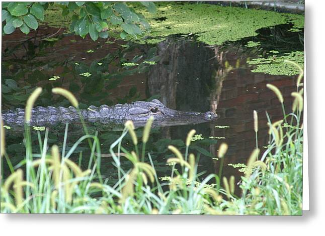 Gator Greeting Cards - National Zoo - Alligator - 12121 Greeting Card by DC Photographer