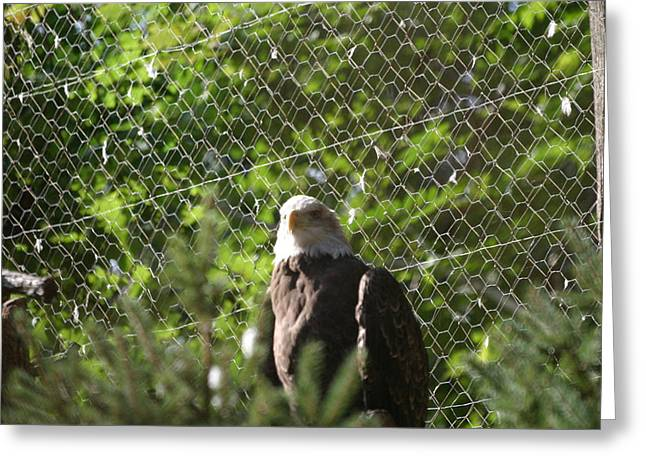 Park Photographs Greeting Cards - National Zoo - Bald Eagle - 12121 Greeting Card by DC Photographer