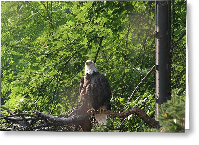 Bald Greeting Cards - National Zoo - Bald Eagle - 12122 Greeting Card by DC Photographer