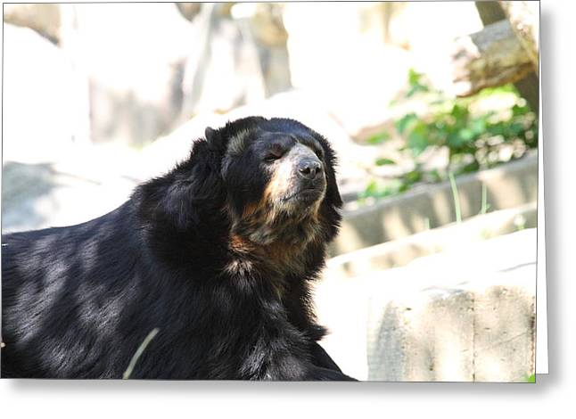 Black Photographs Greeting Cards - National Zoo - Bear - 01132 Greeting Card by DC Photographer