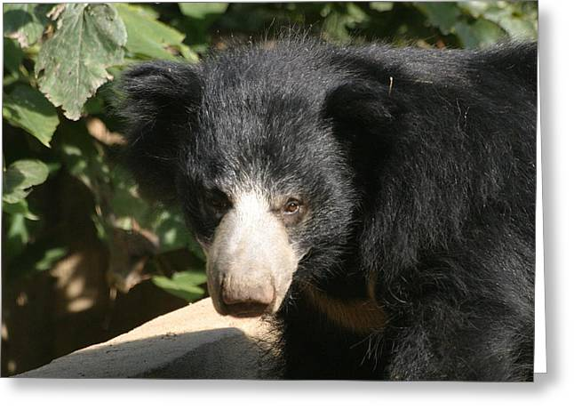Brown Photographs Greeting Cards - National Zoo - Bear - 12125 Greeting Card by DC Photographer