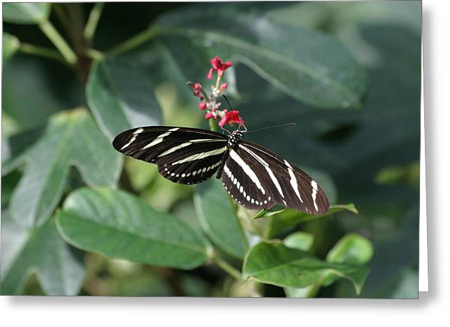Fly Greeting Cards - National Zoo - Butterfly - 12121 Greeting Card by DC Photographer