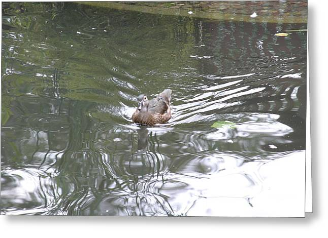 National Zoo - Duck - 121211 Greeting Card by DC Photographer