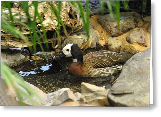 Ducky Greeting Cards - National Zoo - Duck - 121213 Greeting Card by DC Photographer
