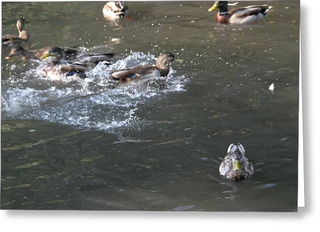 Parks Greeting Cards - National Zoo - Duck - 12126 Greeting Card by DC Photographer