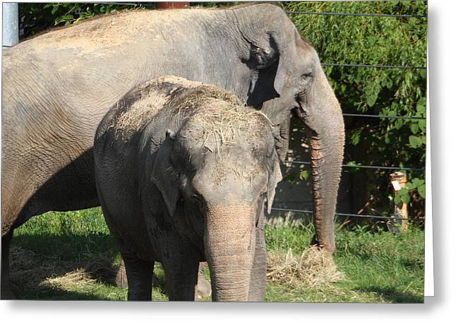 Elaphant Greeting Cards - National Zoo - Elephant - 011313 Greeting Card by DC Photographer