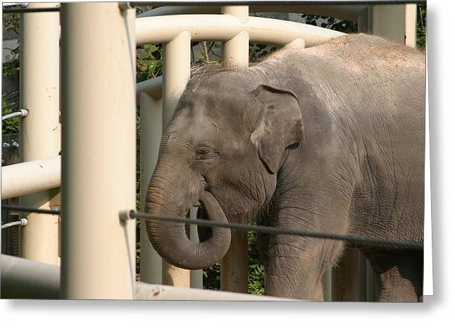 Elaphant Greeting Cards - National Zoo - Elephant - 121210 Greeting Card by DC Photographer
