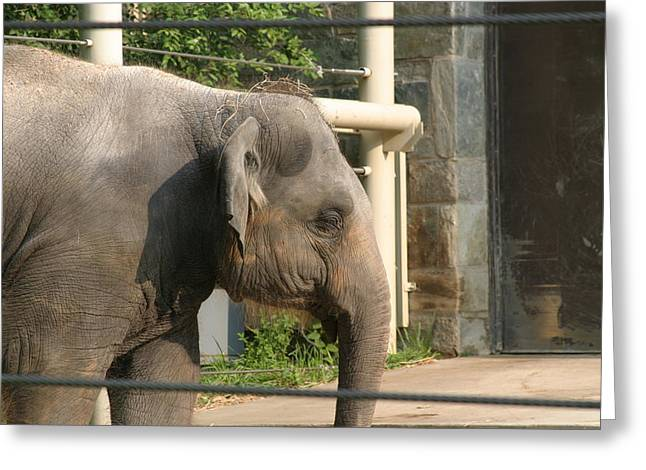 Elaphant Greeting Cards - National Zoo - Elephant - 121211 Greeting Card by DC Photographer