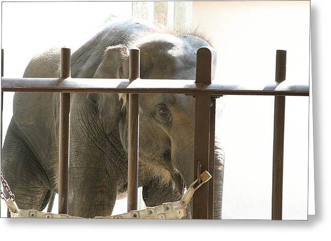 Elaphant Greeting Cards - National Zoo - Elephant - 121213 Greeting Card by DC Photographer