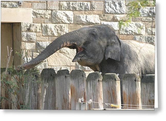 Elaphant Greeting Cards - National Zoo - Elephant - 12122 Greeting Card by DC Photographer