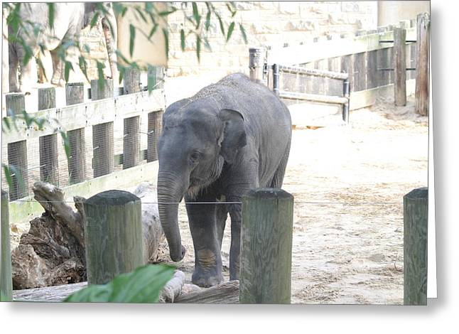 Elaphant Greeting Cards - National Zoo - Elephant - 12123 Greeting Card by DC Photographer