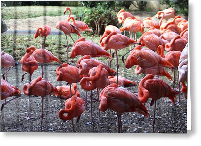 Flamingo Greeting Cards - National Zoo - Flamingo - 01131 Greeting Card by DC Photographer