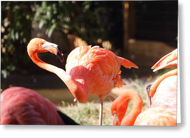 Flamingo Greeting Cards - National Zoo - Flamingo - 01134 Greeting Card by DC Photographer