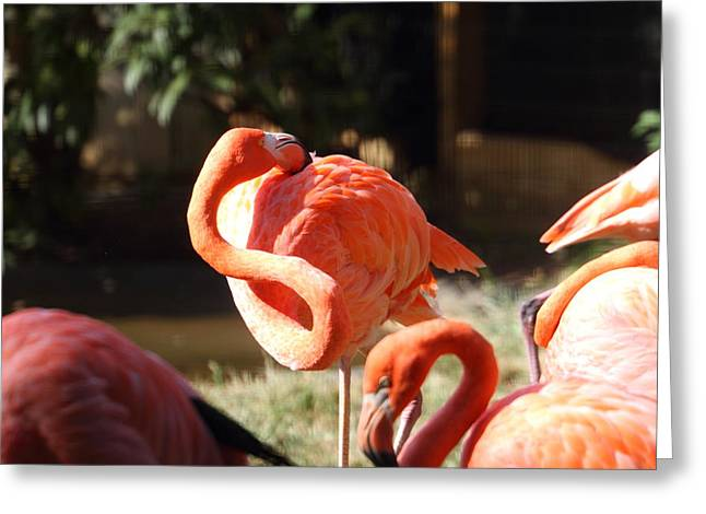 Zoos Greeting Cards - National Zoo - Flamingo - 01135 Greeting Card by DC Photographer