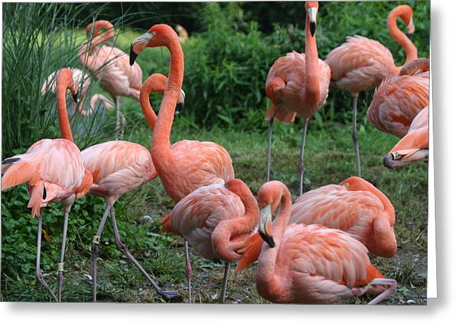 Flamingoes Greeting Cards - National Zoo - Flamingo - 12122 Greeting Card by DC Photographer
