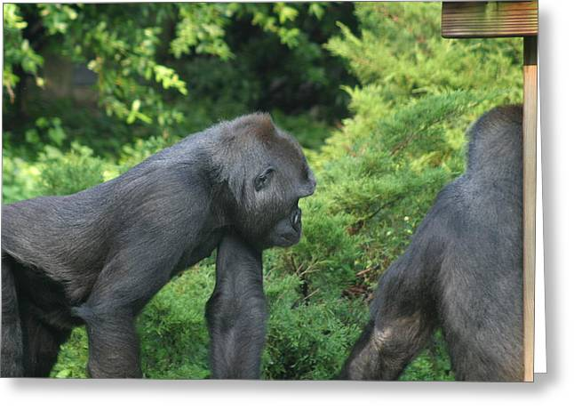 Smithsonian Greeting Cards - National Zoo - Gorilla - 12121 Greeting Card by DC Photographer