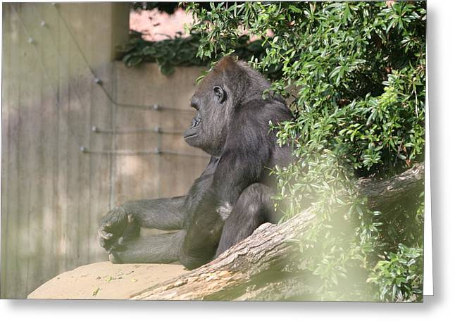 Dc Greeting Cards - National Zoo - Gorilla - 121255 Greeting Card by DC Photographer