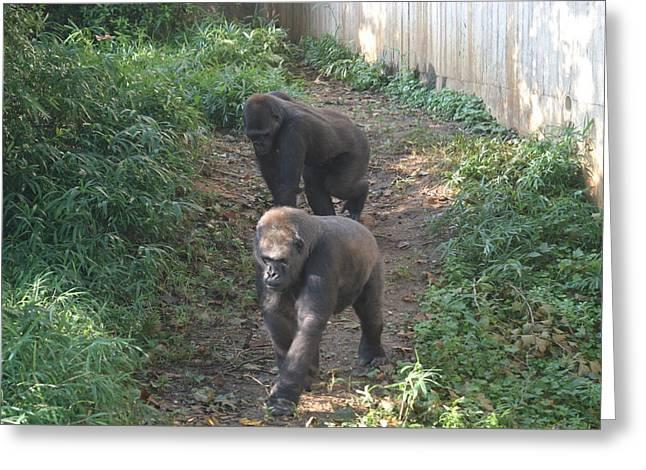 Gorilla Photographs Greeting Cards - National Zoo - Gorilla - 12126 Greeting Card by DC Photographer
