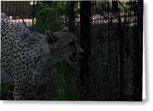 Big Photographs Greeting Cards - National Zoo - Leopard - 011314 Greeting Card by DC Photographer