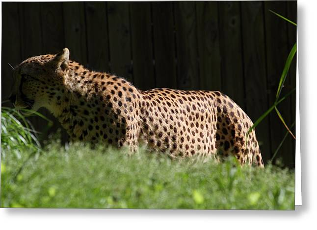 Leopard Photographs Greeting Cards - National Zoo - Leopard - 011321 Greeting Card by DC Photographer