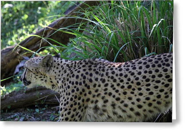 Parks Greeting Cards - National Zoo - Leopard - 011325 Greeting Card by DC Photographer