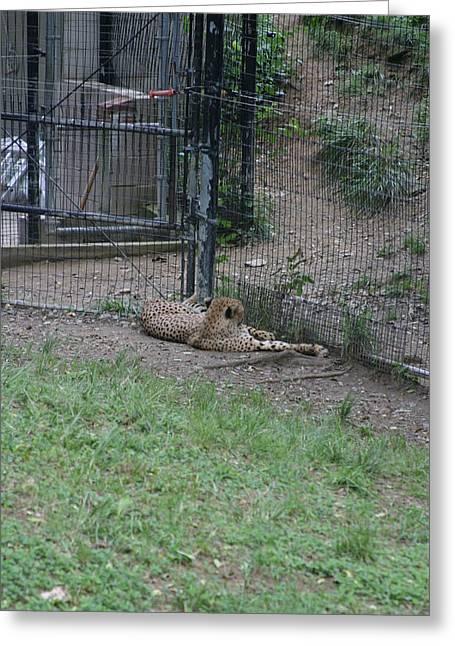 Big Photographs Greeting Cards - National Zoo - Leopard - 12122 Greeting Card by DC Photographer